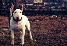 Bul terrier