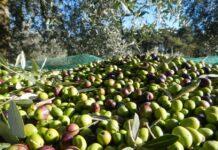 L'olivicoltura in Italia e nel mondo