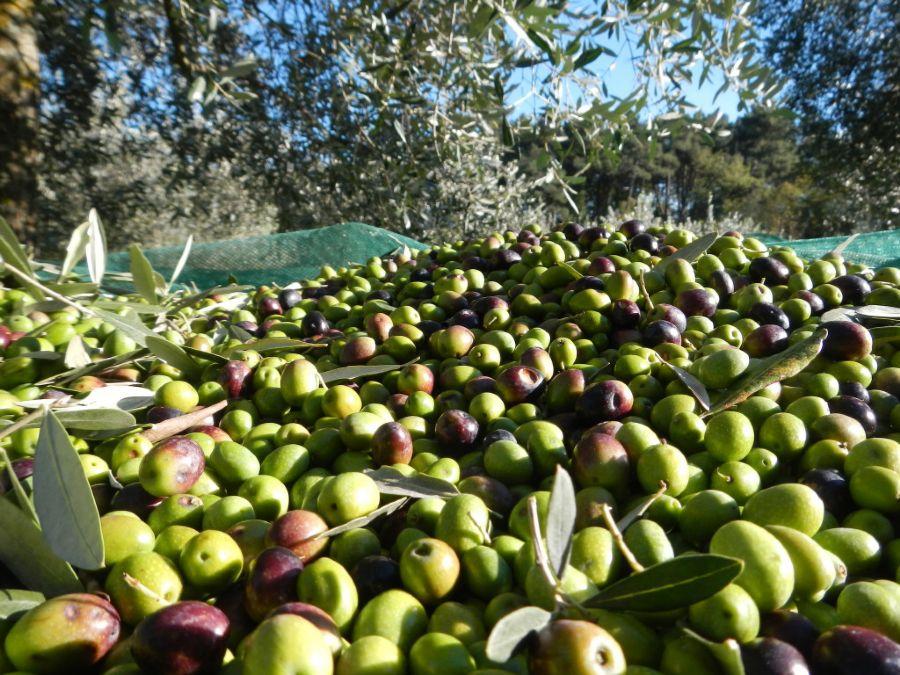 Оливковое выращивание в Италии и по всему миру