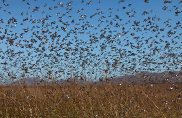 Africa: le locuste mettono molta più paura del coronavirus