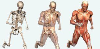 sistema muscolo scheletrico