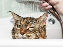 Perché i gatti odiano bagnarsi?