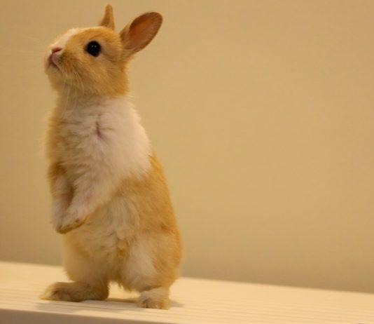 allevare un coniglio in casa
