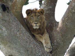 Leone su albero in Uganda