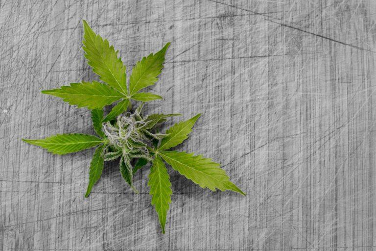 Cannabis per uso terapeutico gratis in Sicilia