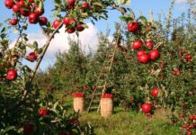 storia del melo