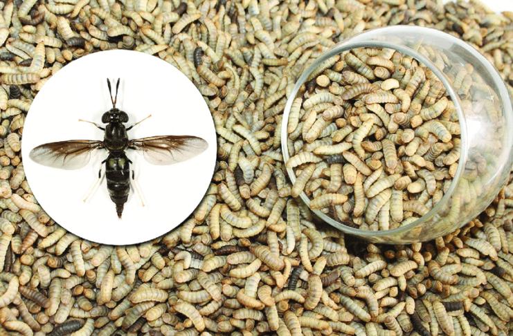 Larve di mosca soldato nera